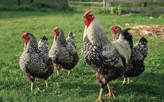 Wyandotte Hühner