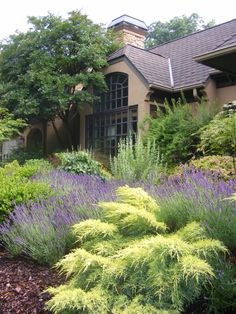 Driveway bed with Juniperus 'Saybrook Gold', lavender, weeping redbud, korean box, and crape myrtle.