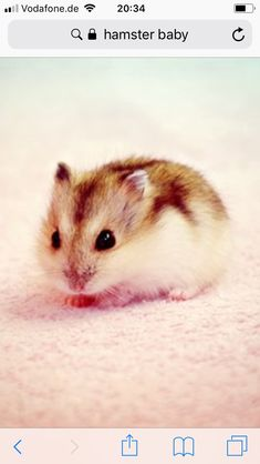 Baby hamster by on - hamsters Teddy Hamster, Hamster Pics, Hamster Stuff, Hamster Cages, Baby Animals Pictures, Cute Animal Pictures, Animals And Pets, Robo Dwarf Hamsters, Funny Hamsters