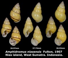 Dr. Lee's Gallery Museum: Amphidromus niasensis 26.57 to 28.53mm