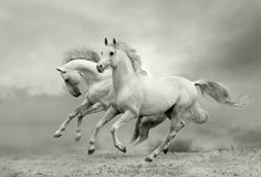 Running Horses in Black and White