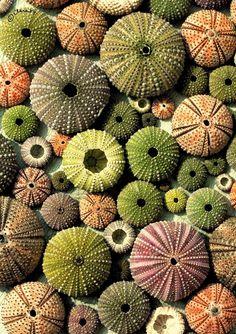 patrickschierer:  Sea Urchins.