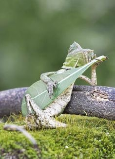 Aditya Permana, a professional photographer in Yogyakarta, Indonesia, recently captured this once-in-a-lifetime photo of a forest dragon lizard that looks like it's playing a guitar! The photographer insisted that he did not manipulate the lizard. Animals And Pets, Baby Animals, Funny Animals, Cute Animals, Beautiful Creatures, Animals Beautiful, Tier Fotos, No Photoshop, Photoshop Photos