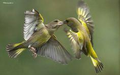 Love Birds, Beautiful Birds, Greenfinch, Bird Quotes, Bird Watching, Graffiti Art, Sea Creatures, Bird Feathers, Cute Animals