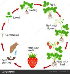 Life Cycle Strawberry Plant White ...