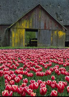 spring tulips and ol