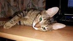 Egyptian Mau Egyptian Mau, Cats, Animals, Gatos, Animales, Animaux, Animal, Cat, Animais