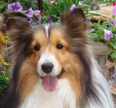Sheltie ~ LUV THE EXPRESSION ~