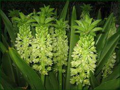 Pineapple Lily - Sweet Pea