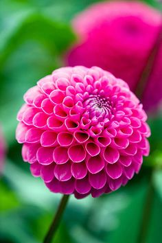 Flowers Photography Dahlia Pink Ideas For 2019 All Flowers, Exotic Flowers, Amazing Flowers, Colorful Flowers, Beautiful Flowers, Wedding Flowers, Prettiest Flowers, Dahlia Flowers, Trees To Plant