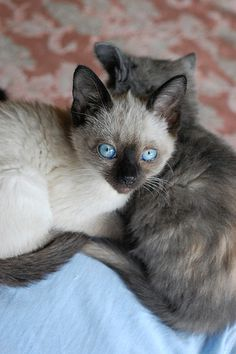 New Cost-Free siamese cats personality Thoughts Siamese kittens and cats might be best renowned for their smooth, wind resistant body, steamy clothes along w Siamese Kittens, Kittens Cutest, Cats And Kittens, Animals And Pets, Baby Animals, Cute Animals, Crazy Cat Lady, Crazy Cats, Beautiful Cats
