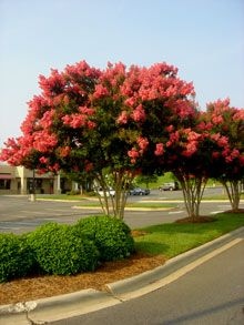 I really want to get some red crepe myrtle trees for outside!