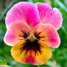 24 colors Mexican pansy seeds Wavy Viola Tricolor Flower Seeds bonsai potted plant DIY home & garden Hot sale Violet Things violet color meaning in telugu Amazing Flowers, Pretty Flowers, Exotic Flowers, Purple Flowers, Fleur Pansy, Pretty Pink Posh, Flower Pictures, Photos Of Flowers, Beautiful Flowers Photos