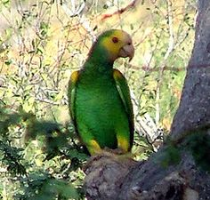 This pretty green parrot is the Yellow shouldered Parrot and this picture was taken on the island, Bonaire. You don't see this yellow and green parrot that often on the island, but they can be spotted. Bonaire is one of the ABC islands of the Netherland Antilles, near Aruba and Curacao.