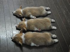 The Triple Crown of Corgi Cuteness: three Pembroke Welsh Corgi puppies napping.