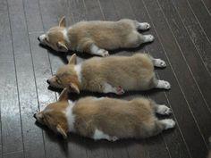 The Triple Crown of Corgi Cuteness: three Pembroke Welsh Corgi puppies napping.