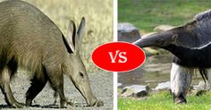 It is again an interesting comparison, difference and similarity between Anteater vs Aardvark. Read this article to compare Aardvark vs Anteater fight, who going to win?