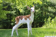 Rare white-faced fawn