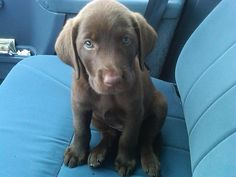 lab puppies are the cutest but unfortunately grow up and get VERY BIG