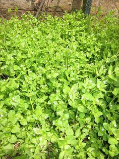 Foraging for wild vegetables - plant identification and recipes! @Holly Elkins Elkins Elkins Elkins Elkins Drake