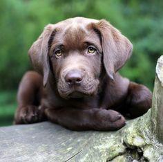 Un labrador retriever couleur chocolat au regard troublant ...