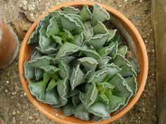 Adromischus cristatus - Crinkle Leaf Plant is a small slow growing succulent with up to 2 inches (5 cm) long branching stems and triangular pale green...
