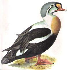 Enciclopédia Os Bichos - Editora Abril Cultural (1970) - Pato do Ártico.