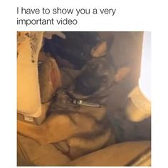 Video by insta: ivythebelgianmalinois 🎥 Source by drlittlepup dog dog memes dog videos videos wallpaper dog memes dog quotes dogs dogs pictures dogs videos puppies puppy video Funny Animal Jokes, Funny Dog Memes, Funny Animal Videos, Funny Animal Pictures, Funny Captions, Animal Humor, Animal Pics, Animal Quotes, Cute Funny Dogs
