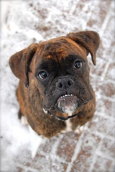 Boxers are the cutest dogs, ever!