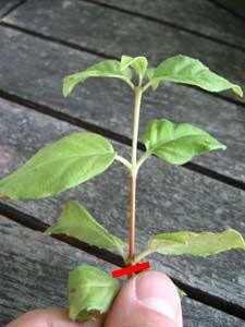La bouture de la viorne viorne boule de neige le par et - Fushia plante entretien ...