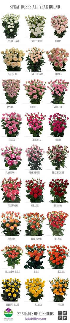 All our spray rose varieties, all year round Types Of Flowers, Colorful Flowers, Beautiful Flowers, Flower Colors, Flower Chart, Rose Varieties, Flower Meanings, Flower Names, Spray Roses