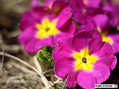 Pinkki esikonkukka Peonies, Flora, Plants, Plant, Planets