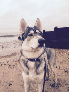 best photos and pictures ideas about northern inuit dogs - dogs that look like wolves