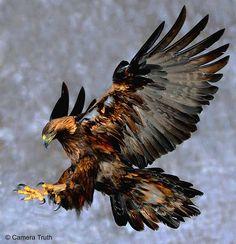 Peripatos — fairy-wren: golden eagle (photo by camera...