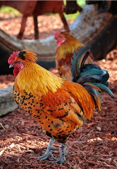 colorful rooster... chickens can be beautiful as well as entertaining... no wonder we name them.