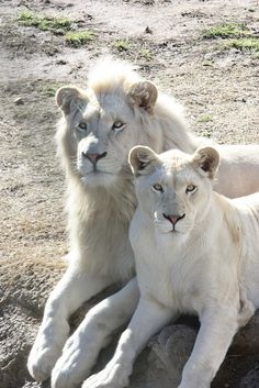 Albino lion couple