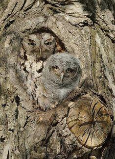 A cor se confunde com o tronco da árvore... Eastern Screech Owls!    Photo By - Joe Iocco...