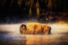 free screensaver wallpapers for american bison  (Lawford Longman 2000x1334)