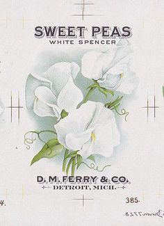 Early 1900's D.M. Ferry Seed Packet Lithographic Proof SWEET PEAS PINKS