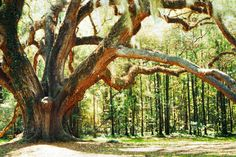 Oak at Litchgate Park, Tallahassee Florida (by Tim Wheeler) Live Oak Trees, Tallahassee Florida, Florida Travel, Adventure Is Out There, Panama City, Beautiful Places, Places To Visit, Things To Come, High Road