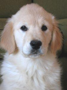 10 week old golden retriever puppy | Golden Retriever Puppy. 10 weeks old