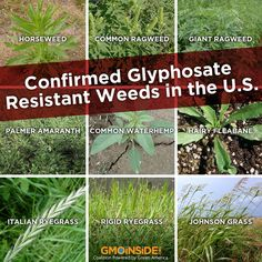"Not familiar with super weeds? Super weeds are weeds that have built up resistance to herbicides, usually as a result of extreme usage and abusive agricultural practices. As a study finds, ""overuse of Monsanto's 'Roundup Ready' seeds and herbicides in our industrial farming system is largely to blame."