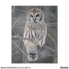 Snowy Owl Poster #owl #birds #bird #nursery #shopping #photograph This is an affiliate link and I will be compensated if you make a purchase after clicking on my link. #shoponline