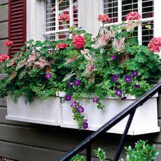 geraniums, caladiums and petunias