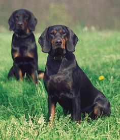 Polish Hunting Dog. Get a Free Consultation for your #dog from our Friends at Nature's Select #Petfood http://naturalpetfooddelivery.com/nsd/usa/free-consultation/
