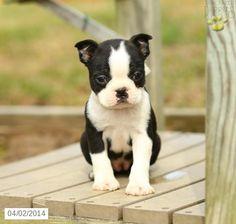 Boston Terrier Puppy for Sale in Pennsylvania