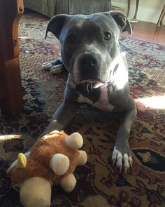 #Duchess loves her new toy wonder how long this ones going to last.. #spoiled #pitbulll #pit #adorabull #nofilter #pittie #adoptdontshop #flopdontcrop #bluenose #pitbullsofig #pitbullgram #pitbullnation #dogsofinstagram #rescue #missionhills #whogivesapit #pitbullsofficial #pitbullsofinstagram #teamfloppyears #pitbulllife #pitbulllovers #pitbullsmisunderstood #pitbullpride #loversnotfighters #standupforpits #showmeyourpits #pitbulladvocate #bluenosepitbull