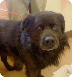 URGENT! Must be out by 04.22.14. Apple Valley, CA - Chow Chow Mix. Meet Winston #132360 a Dog for Adoption.