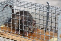 Tierische Gesetze: Mäusefang nur mit Jagdschein