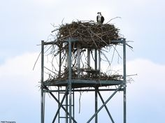 Other female osprey from City Park, perched in her nest.